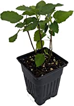 Edible Fig Plant 'Brown Turkey' (Ficus carica) - Sweet & Hardy