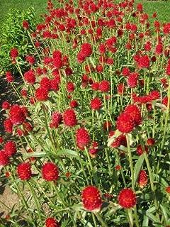 Derlam Samenhaus-50 Pcs Kugelamarant Erdbeere Blumensamen mischung mehrjährig winterhart bonsai Samen Bio für Balkon Garten