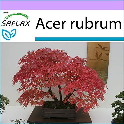 SAFLAX - Arce rojo - 20 semillas - Acer rubrum