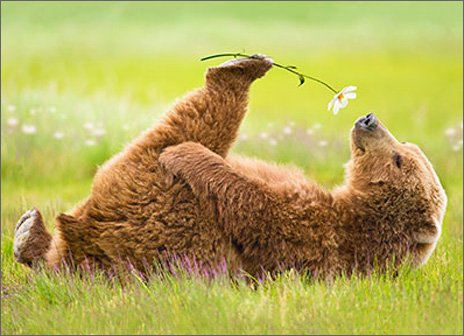 Bear Smells Flower Funny Valentine's Day Card