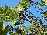 Cherry Laurel Carolina Laurelcherry Prunus Caroliniana 20 Seeds GBP 001