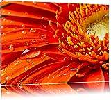 Gerbera mit Wassertropfen Format: 60x40 auf Leinwand, XXL