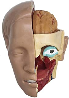 YXZQ Medical Anatomical Head Skull Model - Detachable Head Skull Brain Cerebral Artery Anatomical Model PVC Skull Model - ...