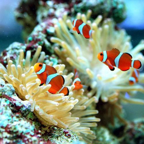 (海水魚 熱帯魚)カクレクマノミ(国産ブリード)(3匹) 本州・四国限定[生体]