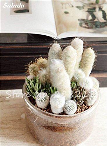 Géant à long Cactus Graines résistant à la chaleur extérieure Succulent Plante en pot Purifier Air Bonsai Pour la maison de jardin sur la radioprotection 80 Pcs 12