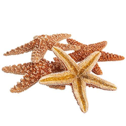 Sugar Starfish | 5 Brown Sugar Starfish 4'-5' | Plus Free Nautical eBook by Joseph Rains