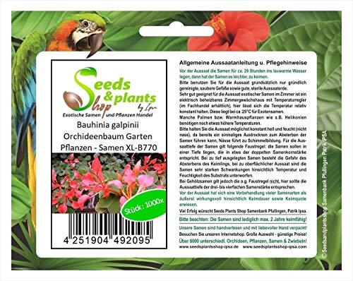 Stk - 1000x Bauhinia Galpinii Árbol de Orquídea Jardín Plantas - Semillas XL-B770 - Seeds Plants Shop Samenbank Pfullingen Patrik Ipsa