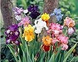 6 Bulbi - Rizomi di Iris germanica in miscuglio di vari colori (RIZOMI DA FIORE MASSIMA DI...