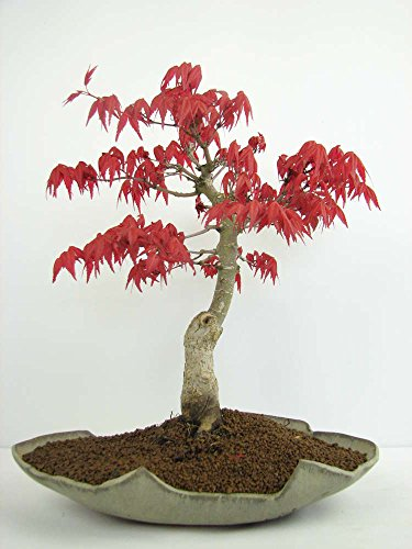 Plantes 10kinds Maple Graines Bonsai arbres pot jardin japonais Maple Seeds 10 Pieces / lot