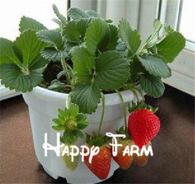 300pcs grands géants fruits rouges fraise graines jardin bricolage graines de fruits balcon semences, plantes en pot, matériel de jardin, bonsaï, maison