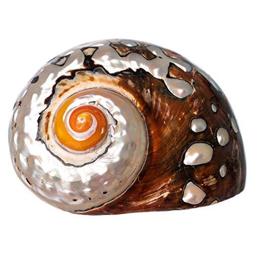 Hermit Crab Shells | Turbo Shells | African Sarmaticus Turbo Shell 2.5'-3' | Hermit Crab House for Décor | Plus Free Nautical eBook by Joseph Rains