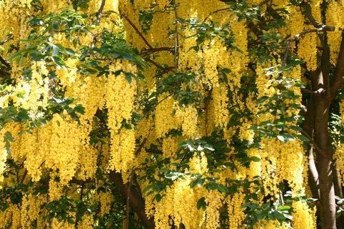 Keland Garten - Raritäten Edelgoldregen 'Vossii' als Großstrauch oder Kleinbaum, duftende Blüte von Mai bis Juni, Blumensamen Baumsamen winterhart mehrjährig