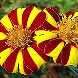 Marigold Seeds - Tagetes Patula - 50 Fresh French Marigold Seeds - nana Mr Majestic
