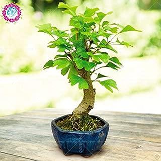 La herencia orgánica 5 PC / bolso de Ginkgo biloba Gingo biloba semillas de frutos secos Bonsái cultivadas a partir de semillas de planta de maceta para el jardín de 3