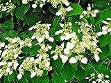 30 Japanese Hydrangea Vine ' Moonlight ' Seeds - Schizophragma hydrangeoides