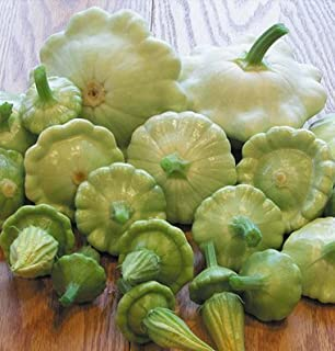 David`s Garden Seeds Squash Summer Scallop Bennings Green Tint SL3916 (Green) 25 Non-GMO, Heirloom Seeds