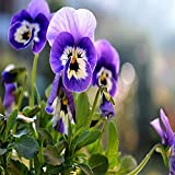 Fnho Perennes Semillas de Flores,Jardín Planta en Maceta perenne,Semilla Tricolor, fácil de Plantar Flores semillas-100 cápsulas