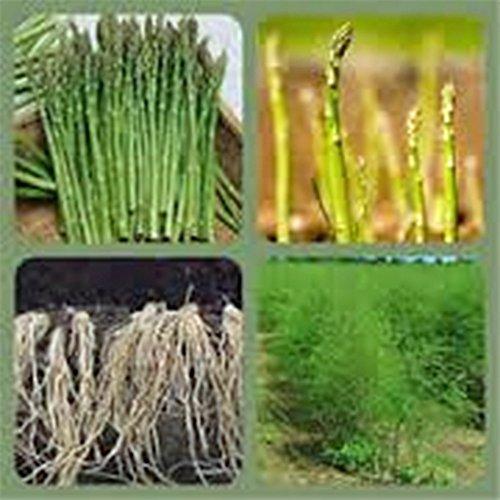 Asparagus Seed, Precoce D