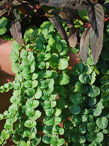 Perennial Farm Marketplace Lysimachia nummularia (Creeping Jenny) Groundcover, 1 Quart, Green Leaves with Yellow Flowers