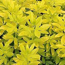 Choisya Ternata 'Sundance' Mexican Orange (YNKS) - Bright Yellow Foliage, Fragrant Flowers (10 Plants)