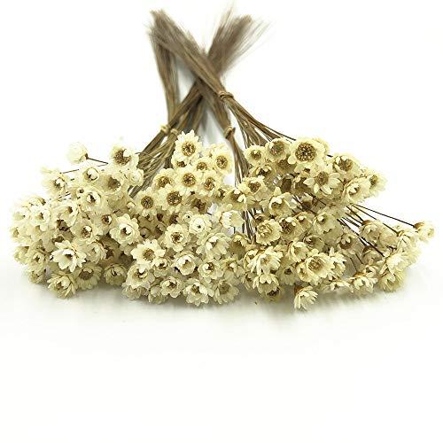 Decoraitve - Ramo de flores secas de manzanilla para decoración, 200 tallo
