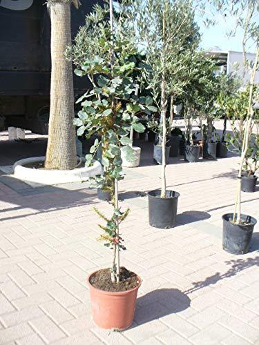 Ceratonia siliqua - algarrobo/un arbol joven 160 cm -/+