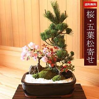 盆栽:桜・五葉松寄せ植え*