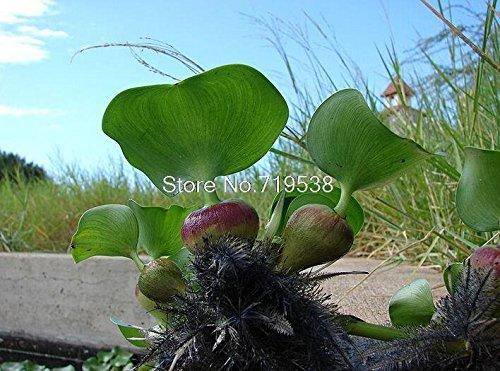 Wasserhyazinthe Samen, und Topf Samen, Blumensamen (unterschiedliche Farben) 50Samen/Pack