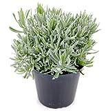 Italienischer Lavendel 15cm Topf, echter Lavendel Pflanze, Lavendula Angustifolia