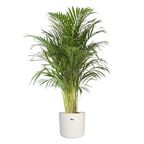 Zimmerpflanze von Botanicly – Goldfruchtpalme in weißem zylindrischen Übertopf als Set – Höhe: 125 cm – Areca dypsis lutescens