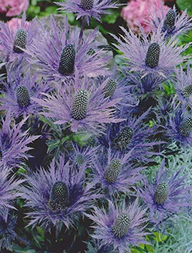 Eryngium alpinum Blue Star Mannstreu...