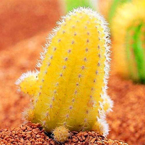 Paket Von Samen 50Pcs, Gelbe Kaktus-Samen-Kaktusfeige-Saftige Hauptbonsais, (100% Reiner Lebender Samen) Non-Gmo Samen Durch Kimilike