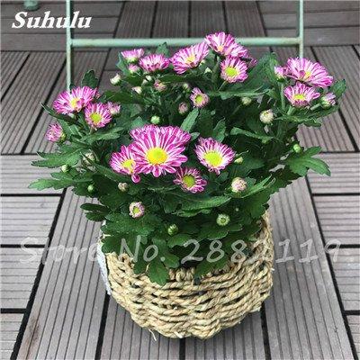 120 pcs graines graines de fleurs Daisy strawberry marguerite, fleurs de saison graines chrysanthème, Bonasi beau balcon fleuri coloré 6
