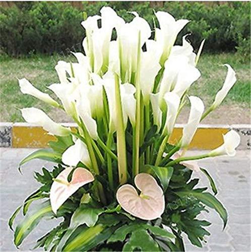 GETSO 100 PC-Calla-Lilien-Bonsai, seltene Pflanzen Blumen, Zimmerblumen Rhizome Zantedeschia aethiopica, Bonsai Zimmerpflanzen Hausgarten Pflanze: 6