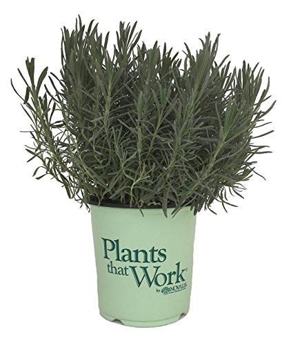 Premier Plant Solutions 20065 Lavender/Lavandula, 19cm, Phenomenal