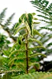 Japanischer Glanzschildfarn - Polystichum polyblepharum - Bodendecker Farn - verschiedene