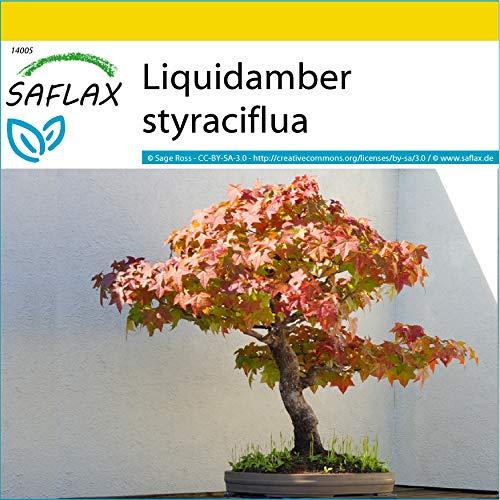 SAFLAX - Set de cultivo - Árbol del ámbar - 100 semillas - Con mini-invernadero, sustrato de cultivo y 2 maceteros - Liquidamber styraciflua