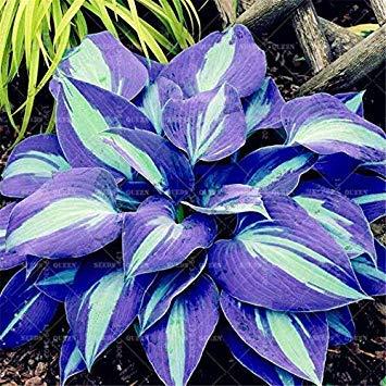 . Schöne japanische Hosta Perennials Plantain-Lilien-Blumen-Hausgarten Bodendecker Pflanzen Gartendekoration 200pcs / Pack: 8