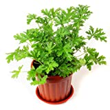 Wuwxiuzhzhuo 100pcs semi pianta di citronella, Mozzie Buster repellente per zanzare Garden...