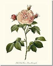 Pink Rose Print: Vintage Botanical Art - Pale Pink Rose (Redouté) - Ready to Frame 5x7 8x10 11x14