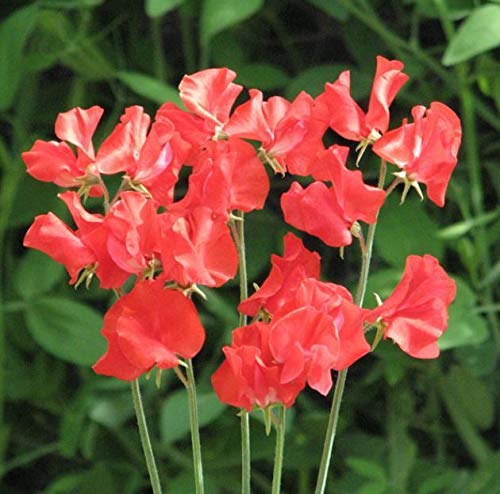 Portal Cool Flower - Kings Seeds - Image - Paquet Sweet Pea - Hannah Magovern - Seed
