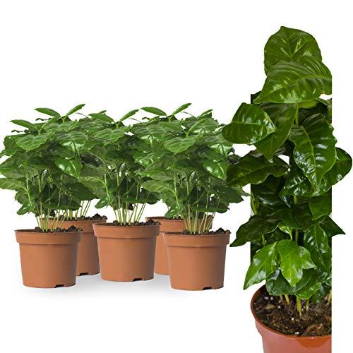 5x Echte Kaffeepflanze coffea arabica ca. 30cm - pflegeleichter Kaffeestrauch zum selber wachsen lassen, immergrüne Zimmerpflanze, Topfpflanze, Kaffee für Liebhaber