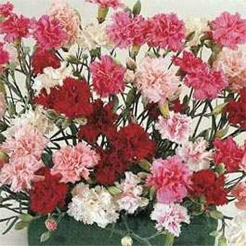 Dianthus- Plumarius Sonata- 200 Seeds
