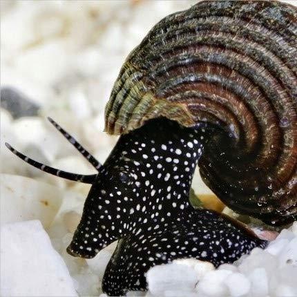 Family of (6) White Spot Rabbit Snails 1-2