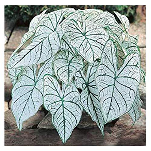 Dwarf Candidum Jr. - White Caladium - Top Size Roots - Zones 9-11