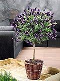 Aimado Seeds Garden-100 Pcs Lavande sur tige graine de fleur exterieur vivace bio semences plantes aromatiques pour jardin