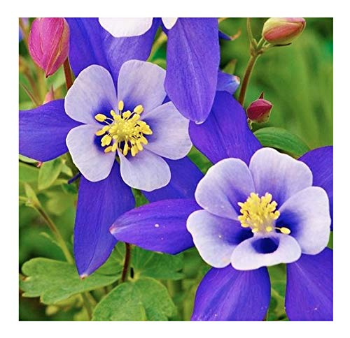 2800 Blue Star Columbine Seeds - A Favorite Perennial Wildflower and State...