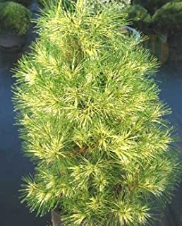 Golden Ghost Japanese Red Pine 3 - Year Graft