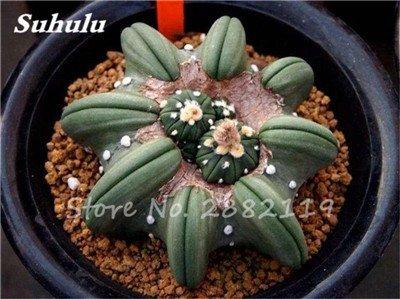 100 Pcs mixte vrai Cactus Seeds, Mini Cactus, Figuier, Graines Bonsai fleurs, vivaces herbes Plante en pot pour jardin 16