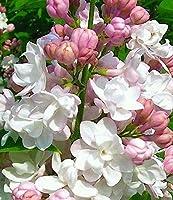 チューベローズの球根 多年生の中庭根茎植物球根丈夫な寝具植物特別-10球根